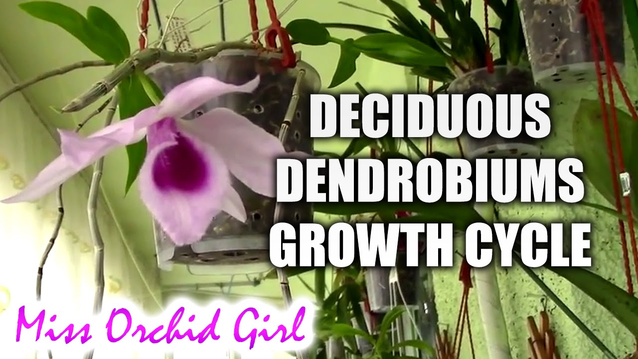 Growth Cycle Of Deciduous Dendrobium Orchids Youtube