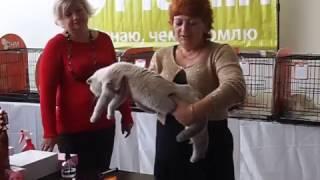 """Шотландская Кошка На Выставке:""""В Гостях У Саффи""""."""