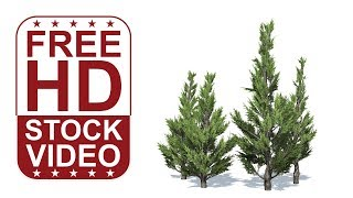 FREE HD video backgrounds - hollywood juniper tree with wind effect on white background 3D animation