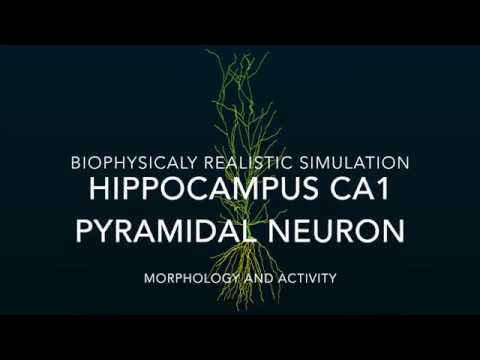 Realistic Simulation Of A Hippocampus Neuron