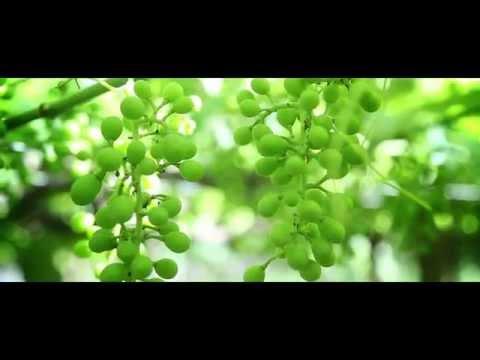 Urussanga- Terra do bom Vinho