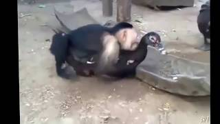 Funny Vines - Funny Pranks - Funny Animals - Funny Moneky Mating - Funny Monkey