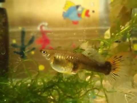 Как Гуппи рожает мальков. Live-bearing fish guppies