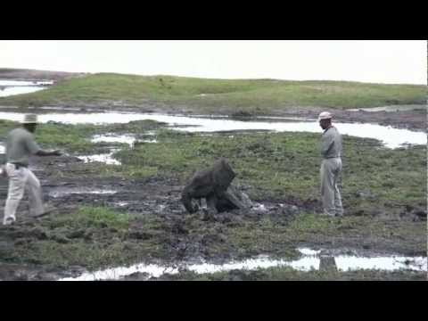 Rescuing an elephant baby in Chobe National Park