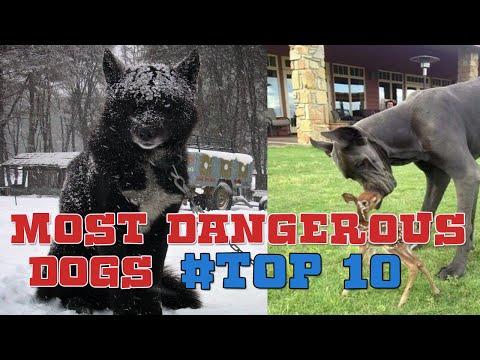 Most Dangerous Dogs   Top 10