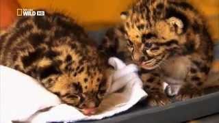 National Geographic_Возвращение дымчатых леопардов
