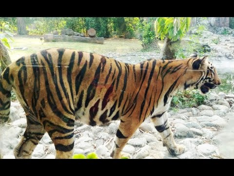Royal Bengal Tiger is National Animal of Bangladesh and India