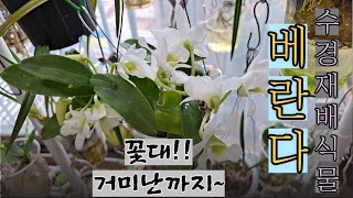 베란다 수경재배식물 소개(꽃대, 거미난까지) 판매도 합…