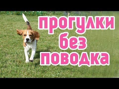 СЕКРЕТ ПРОГУЛОК с собакой БЕЗ ПОВОДКА~БИГЛЬ ДЖИНА~