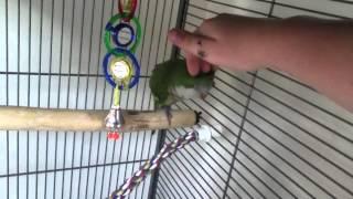 Quaker parrot training tips