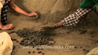 Planting tea seeds in sand : Tea plantation in Assam