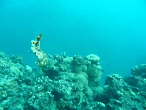 10-07-03 Cap / Bornella anguilla la Nudibranche nageuse