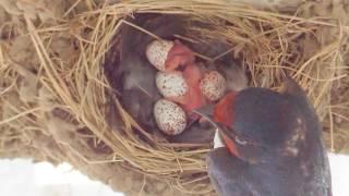午後6時頃、3つ目の卵がかえり3羽目の雛が誕生しました。 映像は2倍...