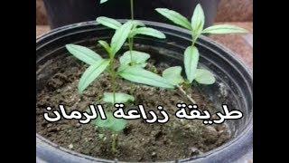 زراعة الرمان من البذور