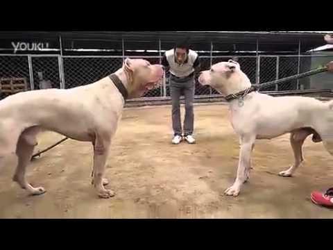 Dog Mexico vs Pitbull