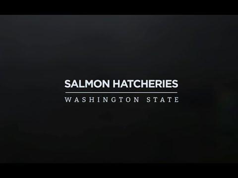 Salmon Hatcheries