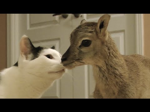 What Happens When A Baby Deer Meets Pets?