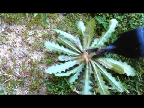 How To Remove A Weed Using A 2-Prong Weed Removal Tool