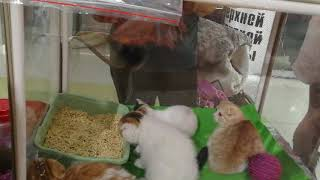 Выставка-продажа котят в Хабаровске