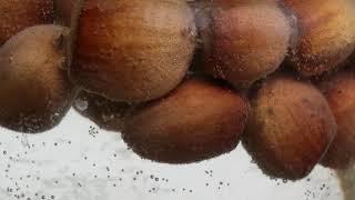 Стратификация лесного ореха. Размножение фундука семенами. Можно или нет размножать лещину