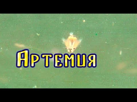 Артемия