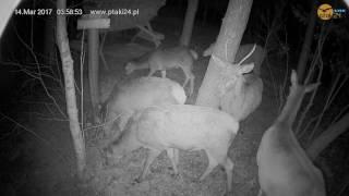 Jeleń i łanie na posiłku w karmisku dla dzikich zwierząt w lesie na Podkarpaciu
