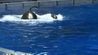 Mother orca cries for baby 1080p 1