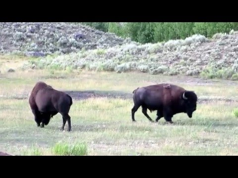 The Bison at Yellowstone National park, Wyoming, USA Part 1