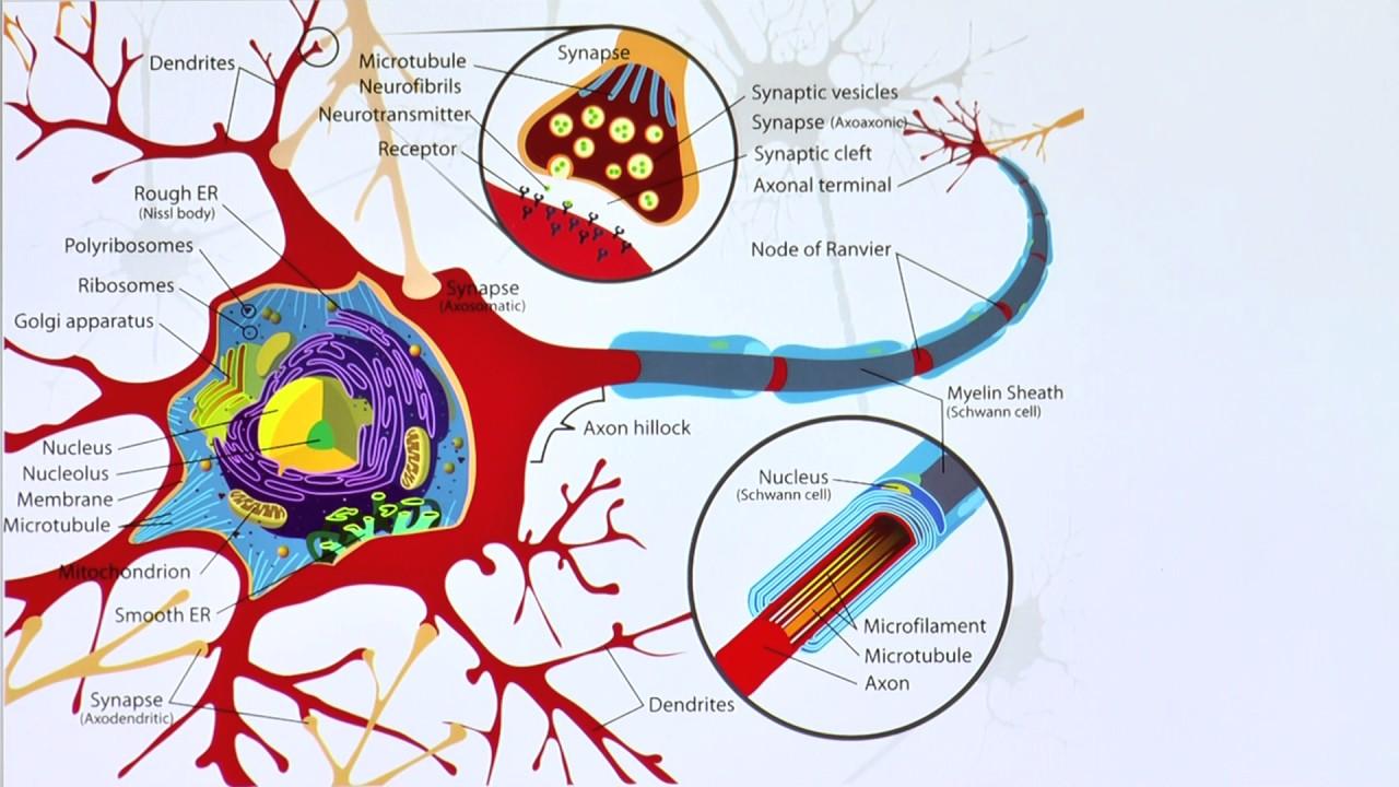 Peripheres Nervensystem - YouTube