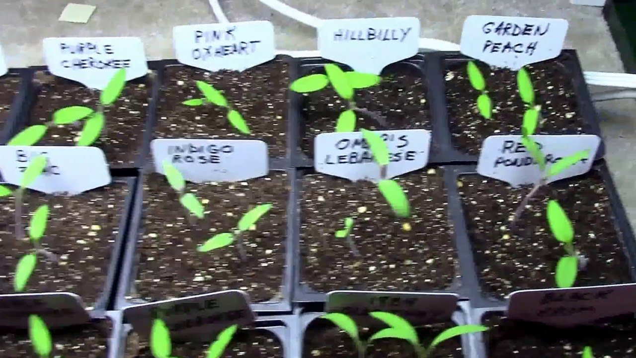 Starting And Growing Tomatoes Or Other Vegetables Under A Grow