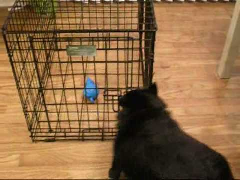 Biscuit the Schipperke Gets His Toy