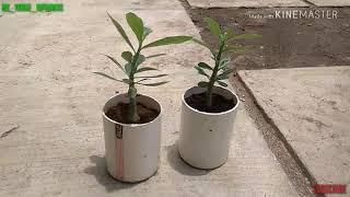 [ADENIUM] Program bonsai.