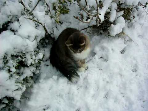 norwegian forest cat kittens see their first snow