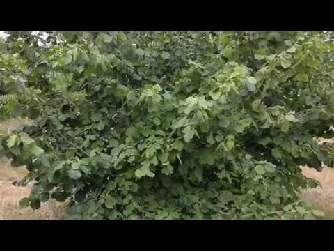 Как выглядит фундук дерево