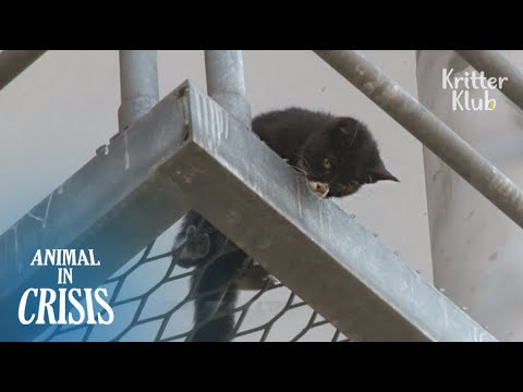 Dying Kitten Trapped On The Bridge Desperately Shouts At People For Rescue | Animal In Crisis EP105