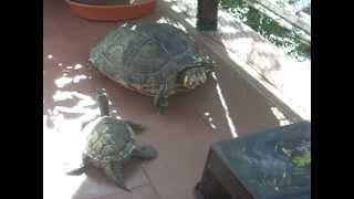 tortugas graptemys macho y trachemys hembra en la terraza con el solecito
