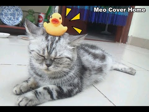 Cute Cats Balancing Duck on Heads | Funny Cat Vines 2018 | Meo Cover Home