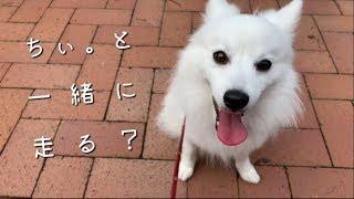 日本スピッツの「ちぃ。」と一緒に朝の散歩道でかけっこしてみました。 ...