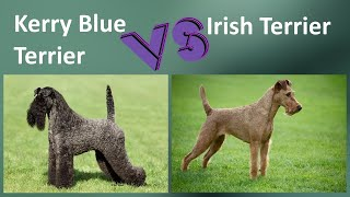 Kerry Blue Terrier VS Irish Terrier  Breed Comparison