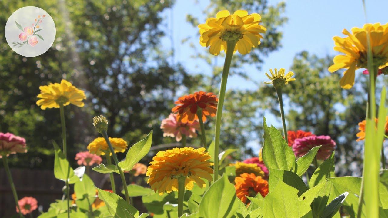 Growing Zinnias for More Blooms Cut Flower Farm Growing flowers from – Cut Flower Garden Plan