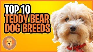 10 TEDDY BEAR DOG BREEDS  TOP