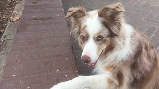 AKC TRICK DOG PERFORMER TITLE BRIARROSE