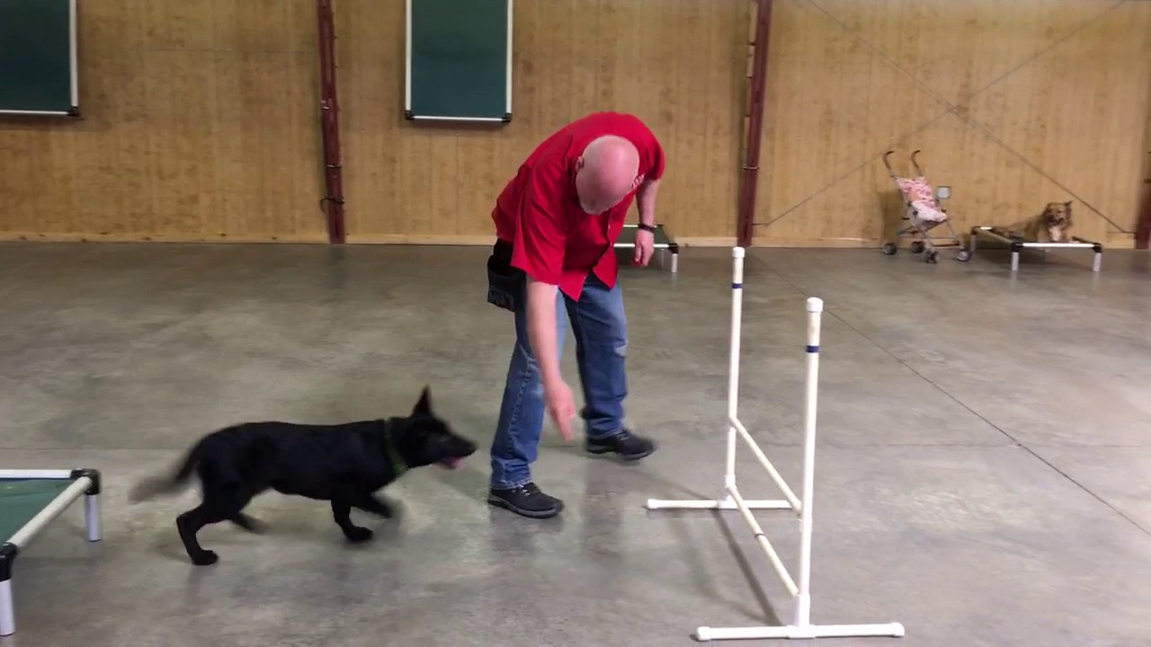 Puppy obedience school adelaide