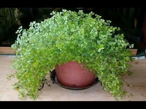 СОЛЕЙРОЛИЯ или ГЕЛКСИНА – совершенное неприхотливое растение | Уход и разведение в домашних условиях