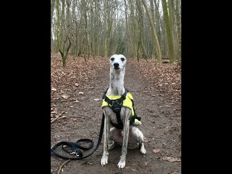 A local walk with my Whippet