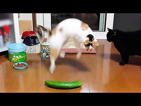 cat vs cucumber complications – super fun video