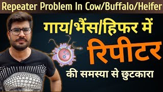 Gambar cover गाय/भैंस/हिफर में रिपीटर की समस्या से छुटकारा || Repeat breeding treatment in cattle and buffalo
