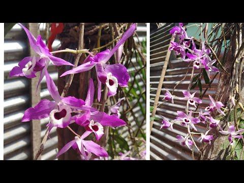 Dendrobium Lituiflorum   