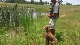 "Red Hunting Poodles ""cooper"" Water Retrieves"