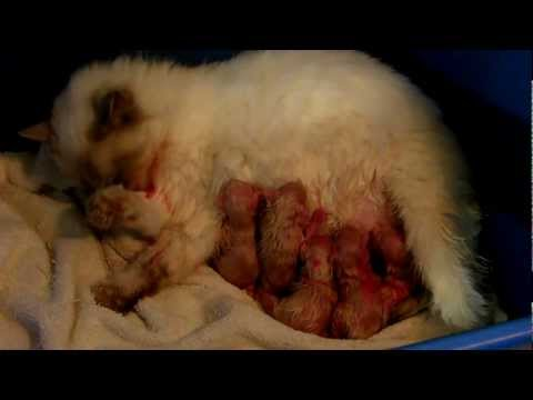 Ragdoll With Newborn Litter Of Kittens